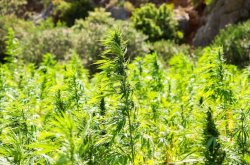 Arizona Governor Greenlights Industrial Hemp Farming Pilot Program
